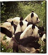 Pandamonium Acrylic Print by Joan Carroll