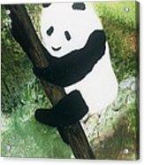 Pandamonium Acrylic Print