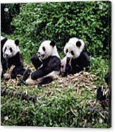 Pandas In China Acrylic Print