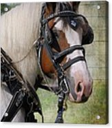 Pandora In Harness Acrylic Print