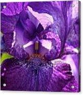 Pandora's Purple Acrylic Print
