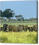 Panorama African Elephant Herd Endangered Species Tanzania Acrylic Print