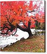 Panorama Of Red Maple Tree, Muskoka Acrylic Print by Henry Lin