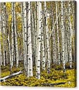 Panoramic Birch Tree Forest Acrylic Print