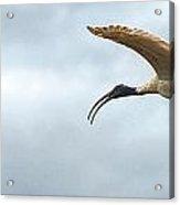 Panoramic Photo Of Flying Ibis Acrylic Print