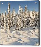 Panoramic View Of Snow-covered Spruce Acrylic Print