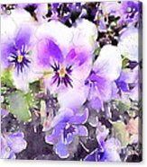 Pansies Watercolor Acrylic Print