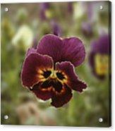 Pansy Beauty Photograph Acrylic Print