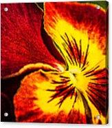 Pansy Flower 5 Acrylic Print
