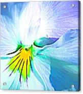 Pansy Flower 6 Acrylic Print
