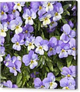 Pansy Flowers In Spring Background Acrylic Print