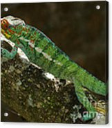 panther chameleon from Madagascar 5 Acrylic Print