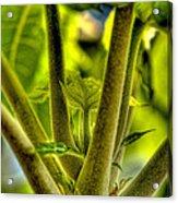 Papaya Shoot Acrylic Print