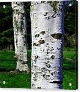 Paper Birch Trees Acrylic Print
