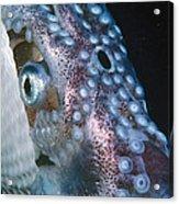Paper Nautilus Port Phillip Bay Acrylic Print