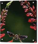 Paper Wasp In Flight Acrylic Print