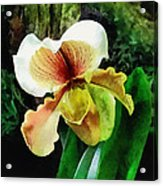 Paph Hellas Westonbirt Orchid Acrylic Print