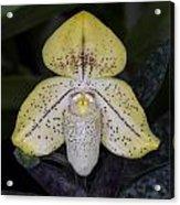 Paphiopedilum Concolor Orchid Acrylic Print