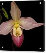 Paphiopedilum Hybrid  Acrylic Print by Gerald Murray Photography