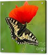 Papilio Machaon Butterfly Sitting On A Red Poppy Acrylic Print