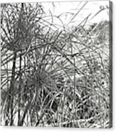 Papyrus Black And White Acrylic Print