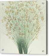Papyrus Acrylic Print