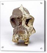 Paranthropus Robustus Cranium (sk46) Acrylic Print