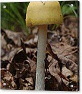 Parasol Mushroom Macrolepiota Sp Acrylic Print