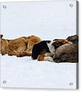 Pariah Dogs On The Snow - Featured 2 Acrylic Print