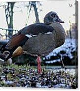 Park Ducks Acrylic Print