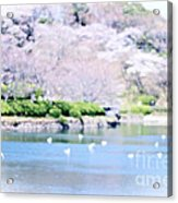 Park With Pond And Cherry Blossoms In Spring Acrylic Print