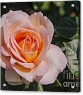 Parnell Pink Rose Acrylic Print