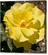 Parnell Yellow Rose Acrylic Print