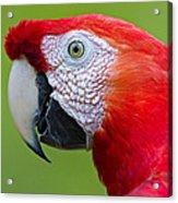 Parrot 35 Acrylic Print