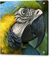 Parrot 9 Acrylic Print