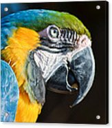 Parrot Close Up Acrylic Print