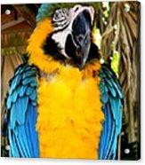 Parrot II Acrylic Print