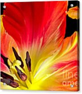 Parrot Tulip On Fire Acrylic Print
