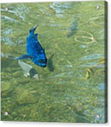 Parrotfish On A Swim Acrylic Print by John M Bailey