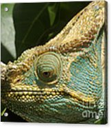 Parsons Chameleon From Madagascar 12 Acrylic Print