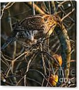 Partridge In An Apple Tree Acrylic Print