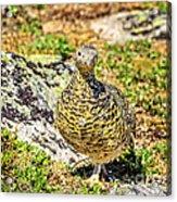 Partridge 1 Acrylic Print