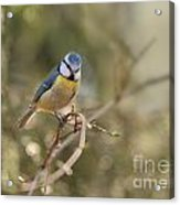Parus Sitting On A Thin Branch Acrylic Print
