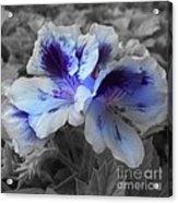 Pasion Blue Acrylic Print