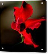 Paso Doble Fire Acrylic Print