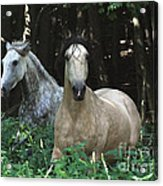 Paso Fino Mares Pay Attention Acrylic Print