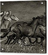 Paso Peruvian Horses On The Run Acrylic Print