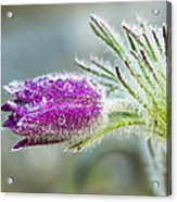 Pasque Flower Acrylic Print