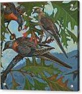 Passenger Pigeon Acrylic Print