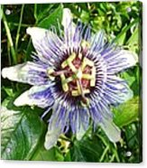 Passiflora Against Green Foliage In A Garden  Acrylic Print